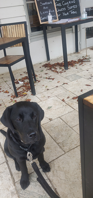 Black Labrador Evian practicing settling in a coffee shop