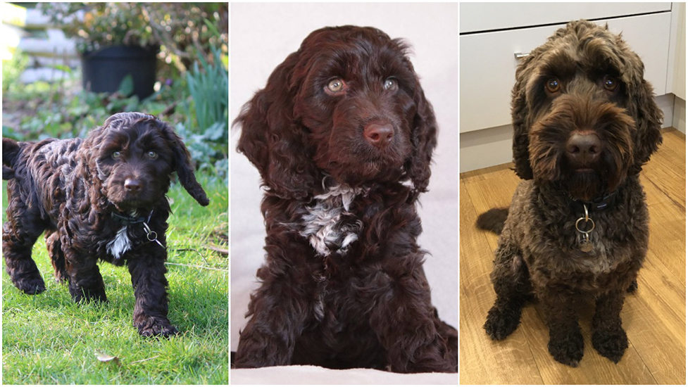 Cockapoo Alpha as a puppy and then he how looks now