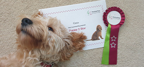 Cockapoo hearing dog puppy Coco next to her certificate for passing the second stage of hearing dog training
