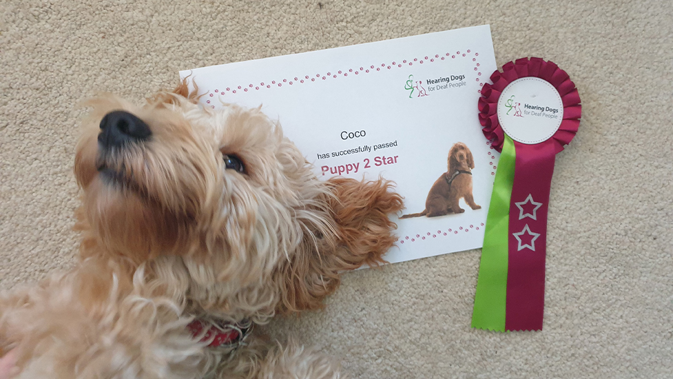 Cockapoo Coco next to her certificate, which was awarded for passing the second stage of hearing dog training