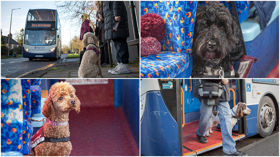 Four photos showing our clever hearing dog puppies waiting for a bus, sitting beautifully during the journey and then leaving the bus