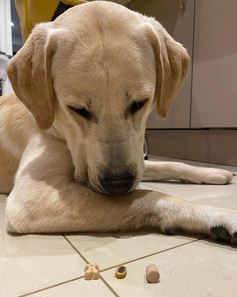 Yellow Labrador Biscuit staring intently at his treats as he waits to eat them