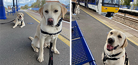 Yellow Labradors Biscuit and Buddy sitting at a quiet train station platform