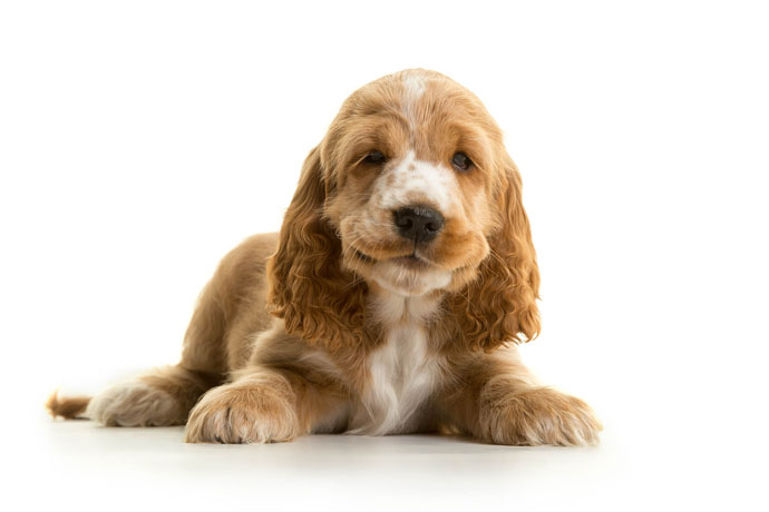 cute hearing dog puppy
