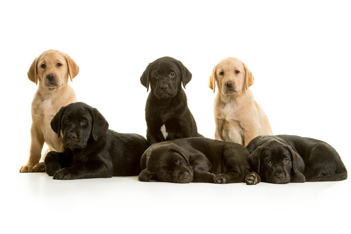 family portrait Labradors cute