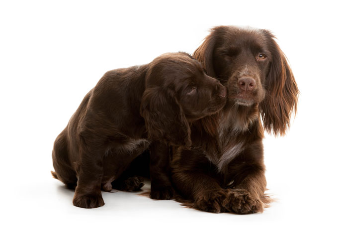 hearing dog puppy siblings spaniels