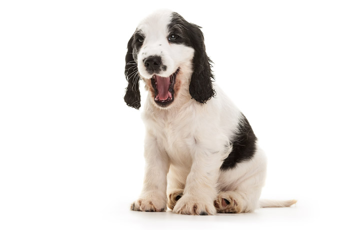 hearing dog puppy cute yawning spaniel