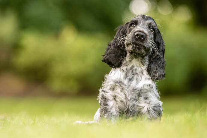spaniel cute puppy hearing dog