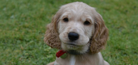hearing dog puppy cocker spaniel