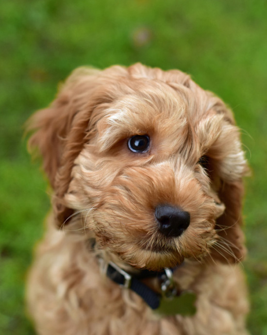 Fall in love with Cockapoo puppy Buzz this Valentine's Day