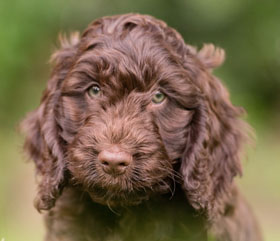 sponsor hearing dog puppy Harvey