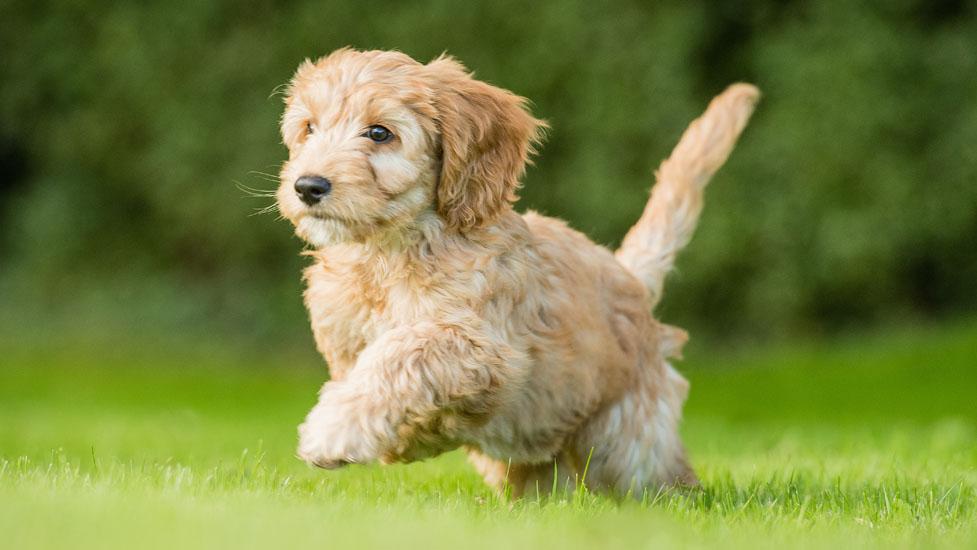 Juno is part Cocker Spaniel, part Poodle, part teddy bear