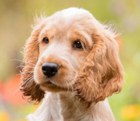 sponsor hearing dog puppy Leo