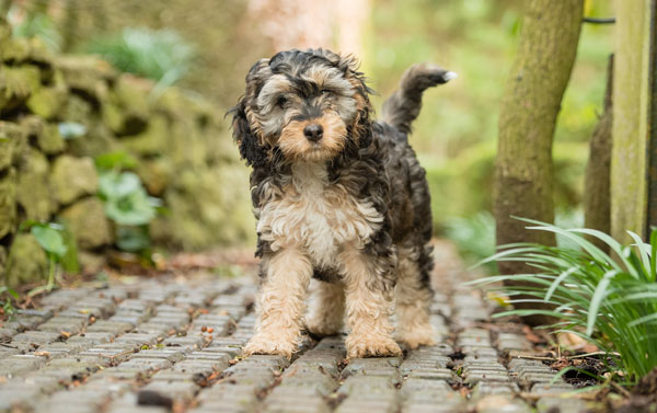 Adorable Hearing Dogs Sponsor Pup Arya