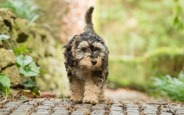 Cute Hearing Dogs Sponsor Pup Arya