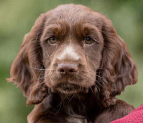 Sponsor chocolate cocker spaniel Puppy Bertie