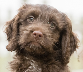 Photo of chocolate cockapoo sponsor pup Charlie