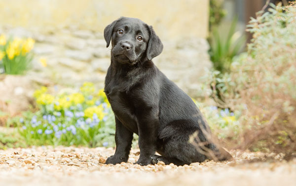 Cute Hearing Dogs Sponsor Pup Chrissie