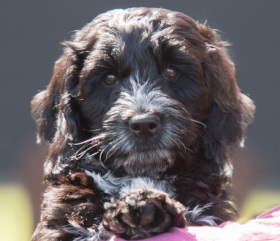 sponsor hearing dog puppy Daisy