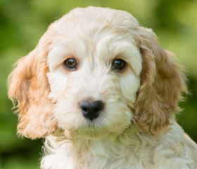 Photo of light coloured cockapoo