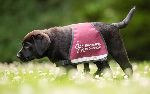 Adorable Hearing Dogs Sponsor Pup Hunter