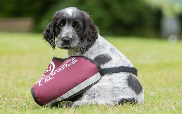 Adorable Hearing Dogs Sponsor Pup Josie