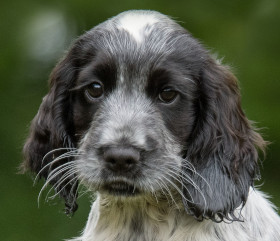 Roan blue cocker spaniel hearing dog puppy Josie