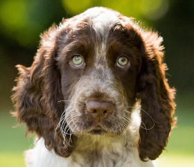 sponsor hearing dog puppy Luca
