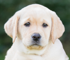 yellow labrador hearing dog puppy Luna