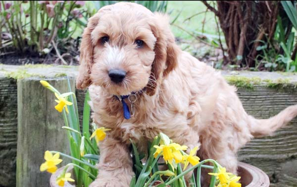 Adorable Hearing Dogs Sponsor Pup Nutmeg close up