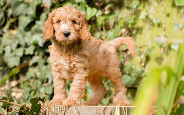 Cute Hearing Dogs Sponsor Puppy nutmeg in action