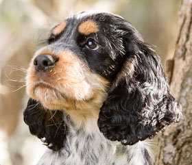 sponsor hearing dog puppy Otis