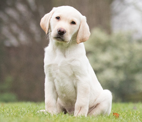 sponsor hearing dog puppy Otto