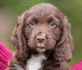 sponsor hearing dog puppy Rico