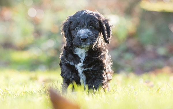Adorable Hearing Dogs Sponsor Pup Scout