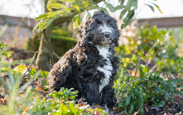 Cute Hearing Dogs Sponsor Pup Scout