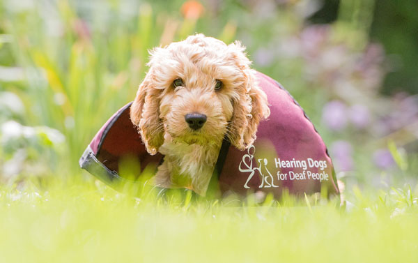Adorable Hearing Dogs Sponsor Pup Senna