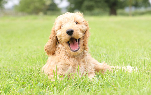 Cute Hearing Dogs Sponsor Pup Senna
