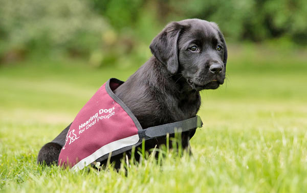 Adorable Hearing Dogs Sponsor Pup Vesper